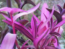Neon Tradescantia Variegated Pallida Houseplants Live Plant Rare plants