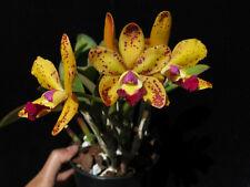 Do- Lc. Jungle Elf x Brassavola nodosa, Cattleya Orchid, first release!