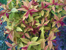 "Gold Flame Spirea - fiery red leaves turn yellow-gold. 4"" bare root live plant."