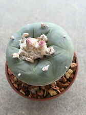 Ariocarpus Lophophora - Cacti Cactus 19 year OwnRoot Plant Astrophytum Succulent