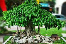 Bonsai Dwarf Variety Strangler Fig Fruit Tree Seeds!! FREE SHIPPING!!