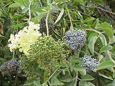 Elderberry Tree Seeds * Medicinal * Supports Butterfly & Bird Species * 7 Count
