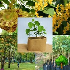 *UNCLE CHAN* 20 SEED RARE PTEROCARPUS MACROCARPUS BURMA PADAUK TREE DURABLE WOOD