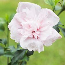 Garteneibisch 'Pink Chiffon' -R- Hibiscus syriacus 3 L Topf gewachsen
