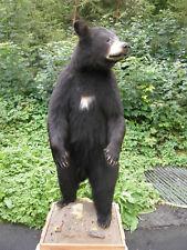 Schwarzbär Präparat Schwarzbärfell  Bärenfell Bär Schwarzbär Bärenpräparat