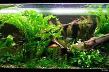 1 bulbe demare d aponogeton ulvaceus plante aquarium tres rare made in france