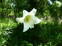 Formosa Lily (Lilium formosanum) ✤ 50 Seeds