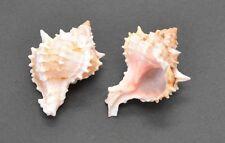 "2 PCS PINK MUREX HERMIT CRAB SEA SHELL BEACH DECOR 2"" - 3"" #7011"