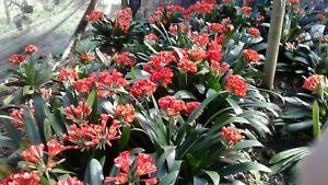 RARE RED CLIVIAS, 5 plants for $100