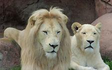 WONDERFUL WHITE LION COUPLE FINE ART GREETING CARD
