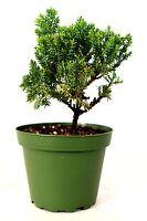 "Juniper Procumbens Nana 4"" Pot Bonsai Starter Plant Easy To Care Indoor/Outdoor"