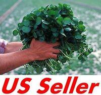 500 PCS Seeds of Watercress Greens Aqua Seeds E52, Heirloom Organic Non-GMO