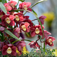 Chic Chinese Cymbidium Orchid Flower Seeds Home Garden Indoor Bonsai Decor 100x