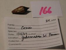 Conus sp Panama data 24mm  #166