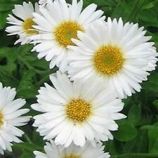 Aster- Alpinus- White- 50 Seeds