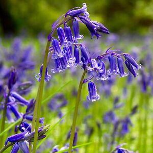 ENGLISH BLUEBELL BULBS - 'Hyacinthoides Non-Scripta' - Spring Flowering