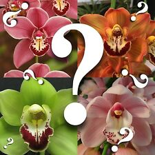Cymbidium_Mystery Orchid_no Id unknown hybrid Blooming Size Surprise Ez Hardy