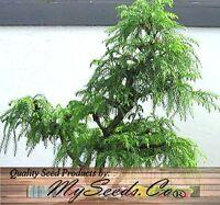 (20) RED CEDAR JAPANESE BONSAI - Cryptomeria japonica Seeds - Fast Grow Comb S&H