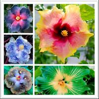 Giant Hibiscus 24 Kinds Bonsai Rosa Flowers Color Mix Tree Plants 200 Pcs Seeds