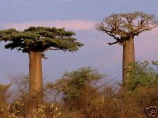 Monkey Bread Tree Seed - Warm Tropic Tall Tree Adaptable - Adansonia digitata