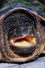 789085 chasquido de tortuga Ontario Canadá A4 Foto Impresión