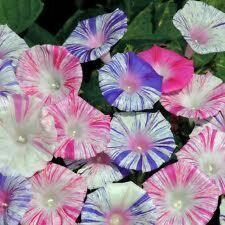 Morning Glory Ipomoea purpurea Carnivale De Venezia 10 seeds