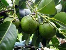 Black Sapote (Bernecker) Tropical Fruit Trees