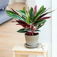 Tricolor Prayer rhizome Plant Stromanthe triostar Easy to Grow House Plant