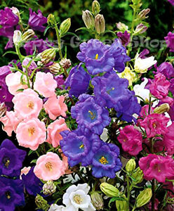CANTERBURY BELLS MIX - 2000 SEEDS - Cup and saucer Campanula medium calycanthema