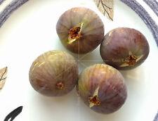 "2 x ""Hmari"" fig tree cuttings, common type, Holy Land"