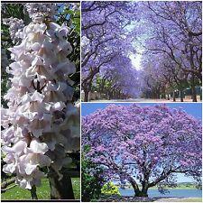 20 semi di Paulownia tomentosa,Paulownia tomentosa