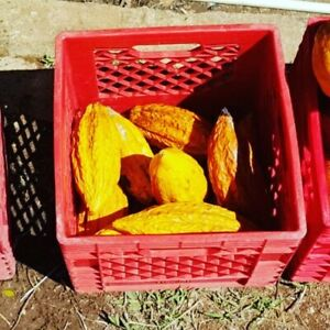 4 Fresh, Sustainably-Grown Cacao Pods from Puerto Rico