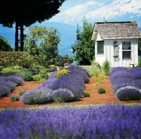 LAVENDER 1200+ SEEDS MUNSTEAD HERBAL INSECT MOSQUITO REPELLENT COMBINED SHIPPING