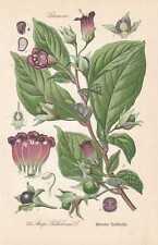 Atropa belladonna Schwarze Tollkirsche THOME Lithographie von 1886 Schlafkirsche