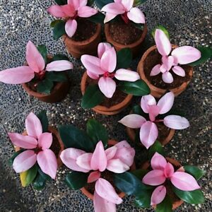 PHILODENDRON PINK CONGO + bonus 1 Plant other free phyto