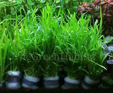 Micro Sword Live Aquarium Freshwater Foreground Plants lilaeopsis novaezelandiae