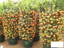 30 Pcs Cute Delicious Edible Fruit Mandarin Citrus Orange Bonsai Tree Seeds PT24