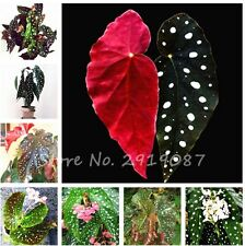 100 PCS Wave Point Flower Seeds Begonia Flower Seeds, Plant Seeds Balcony, Aroma