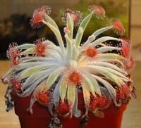 Drosera Ordensis Carnivorous Very Rare Plant 10 seeds Woolly Sundew Petiolaris