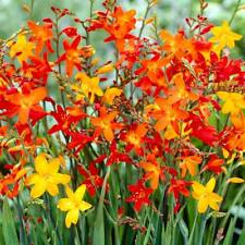 10 Mixed Crocosmia bulbs,summer flowering favourite.easy to grow