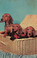 Postcard Dachshunds