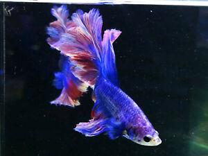 Premium Live Betta Fish l Male Halfmoon Pastel Feather tail
