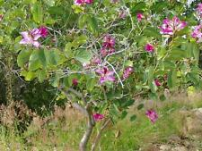 Purple Orchid Tree (Bauhinia purpurea variegata)15 Seeds