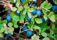50 Blueberry Fruit Tree Seeds Mixed Perennial Bush Plant Bonsai in Home Garden