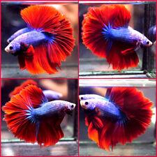 New listing Live Betta Fish Blue Metallic Super Red Rosetail Hm Male C352