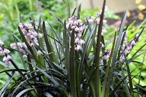 4 x Black Mondo Dragon Grass Plants (Ophiopogon Nigrescens) Hardy 9cm Pot