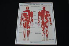 V233 Affiche scolaire papier Rossignol 15 Systeme Musculaire 16 systeme Nerveux
