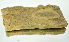LARGE Ediacaran Precambrian fossil Medusoid Nemiana simplex plate #11651 UKRAINE