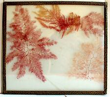RARE Ancien herbier d'algues marines de Santa Cruz 1917 sous-verre