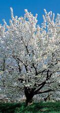 Blossoming White Cherry Tree Bare Root Prunus Umineko Flowering Trees Outdoor